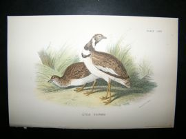 Allen 1890's Antique Bird Print. Little Bustard